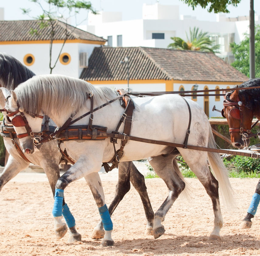 Jerez, Spain. Andalusia horses